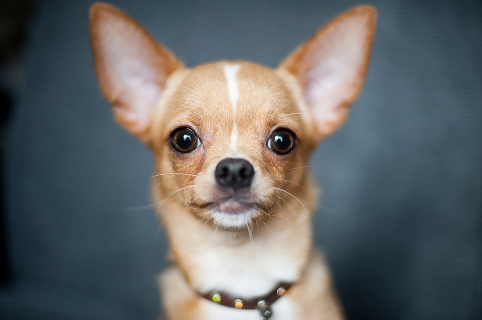 Brown Chihuahua portrait