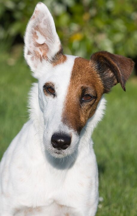 Small Toy Fox Terrier low maintenance dogs