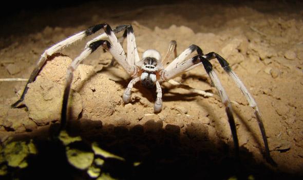 chuck norris spiders