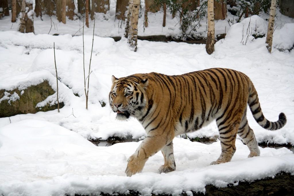 chuck norris tiger