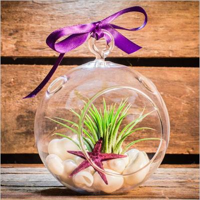 Air Plant Tillandsia Purple Starfish Seashell
