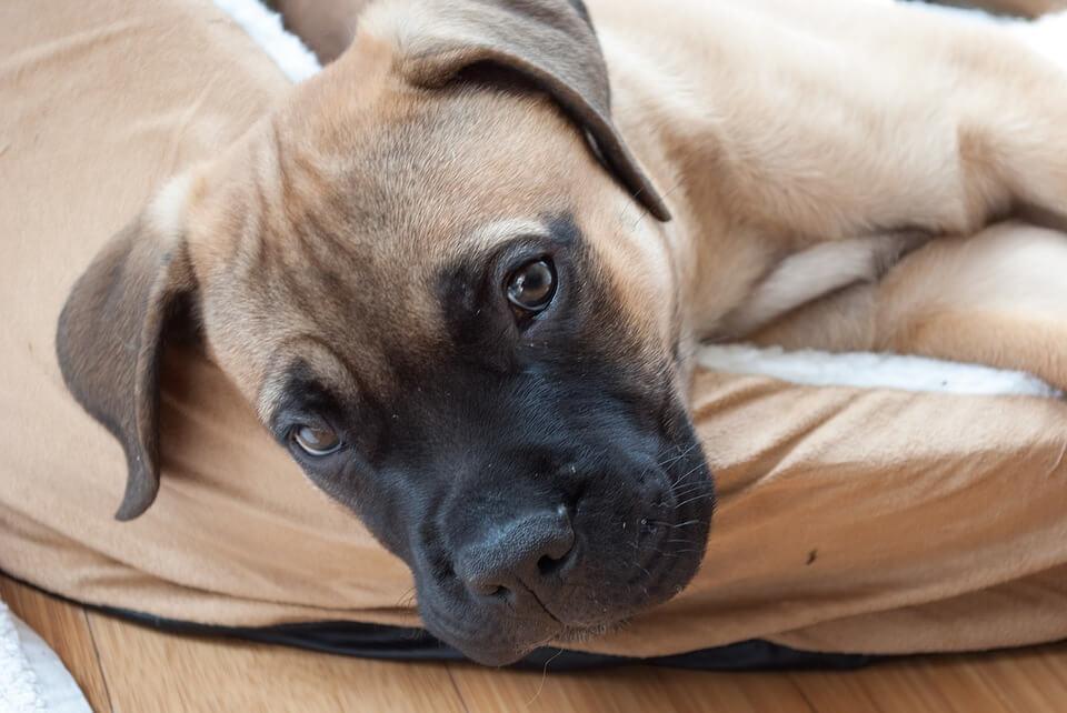 Protective Bullmastiff Puppy