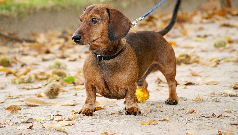 Dachsund Brown on leash