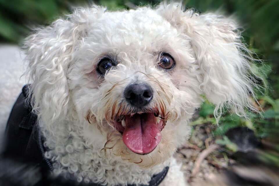 White Bichon Frise low maintenance dogs