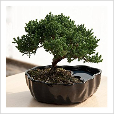 9greenbox juniper bonsai